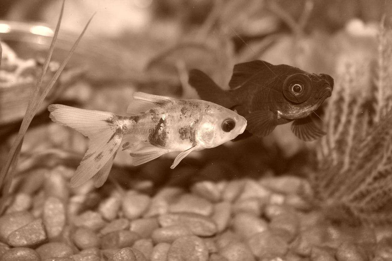 goldfish-672126_1280-vintage